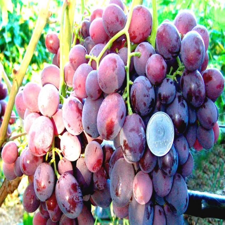 Заря Несвятая сорт винограда