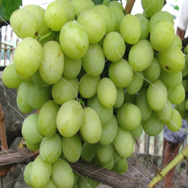 Валек сорт винограда