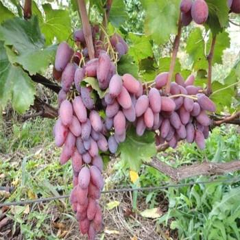 Саженцы винограда Зарево из Крыма
