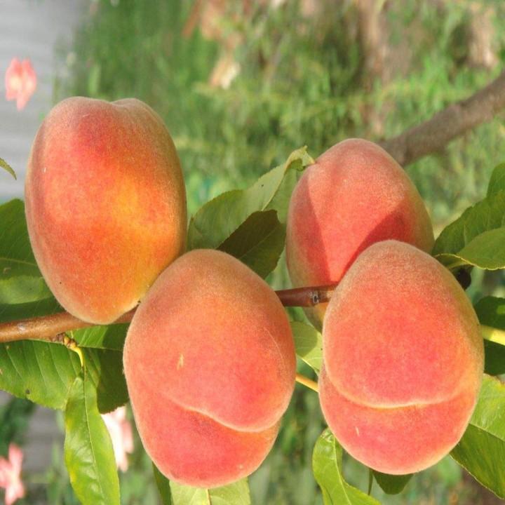 Крест Хейвен сорт персика