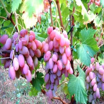 Саженцы винограда Водограй из Крыма