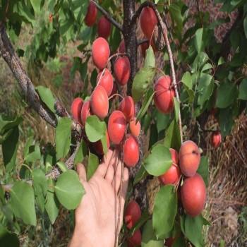Саженцы абрикоса Харогем из Крыма