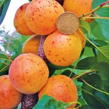 Саженцы абрикоса Оболонский из Крыма