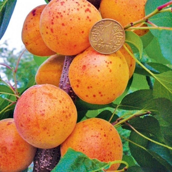 Оболонский сорт абрикоса
