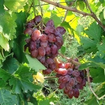 Саженцы винограда Былина из Крыма