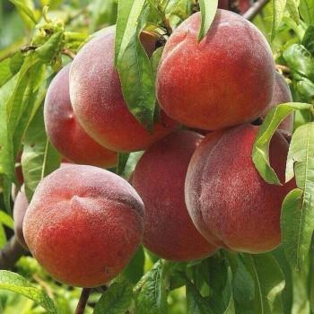 Саженцы персика Роял Саммер из Крыма