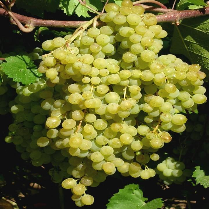 Русбол сорт винограда