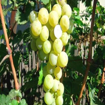Саженцы винограда Лучезарный из Крыма