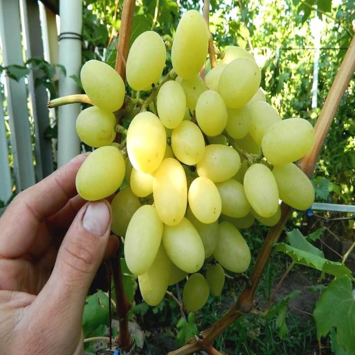 Ландыш сорт винограда