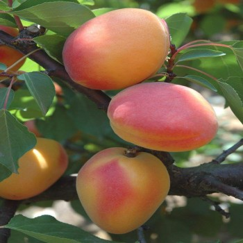 Саженцы абрикоса Фаралия из Крыма
