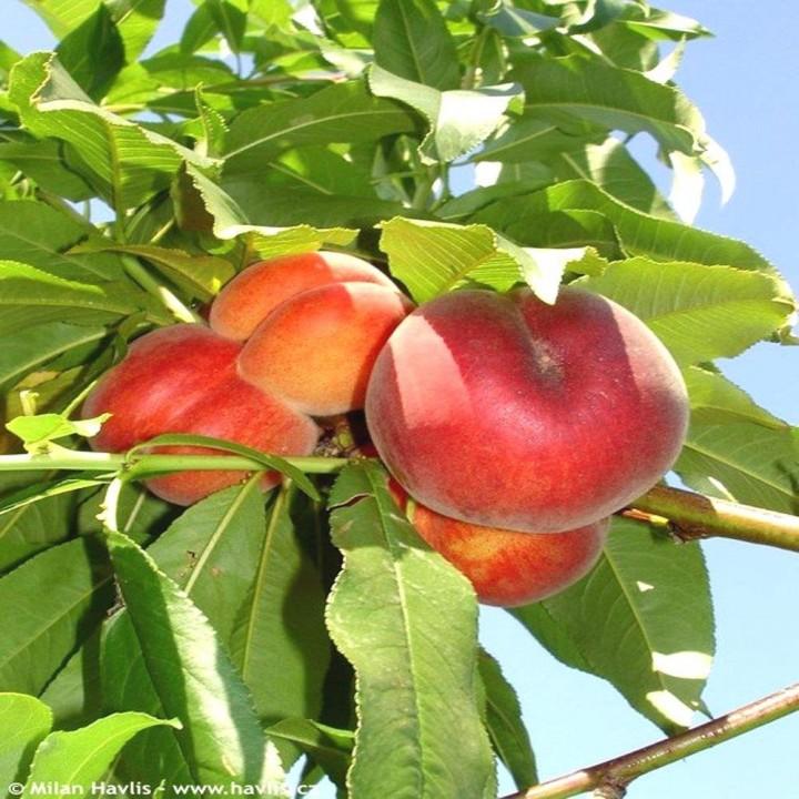 Спринг Крест сорт персика
