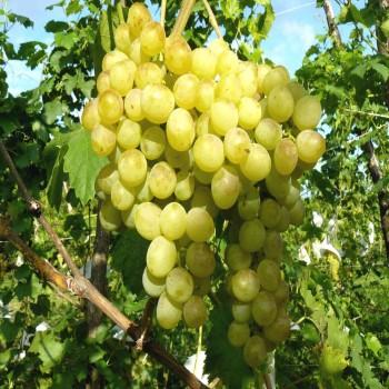 Саженцы винограда Восторг из Крыма