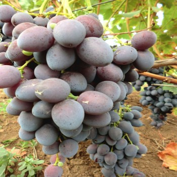 Саженцы винограда Атаман из Крыма