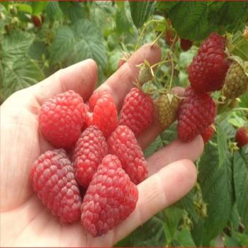 Саженцы малины Зюгана из Крыма