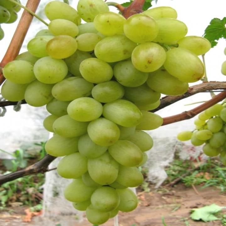 НПЗ сорт винограда