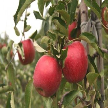 Саженцы яблони Пирос из Крыма