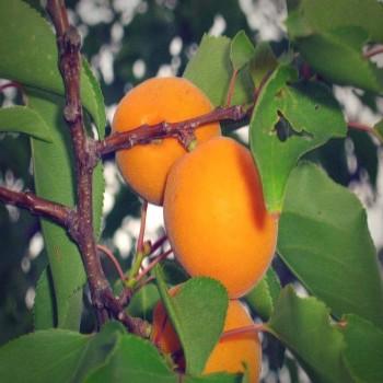 Саженцы абрикоса Эрли Ред Оранж из Крыма