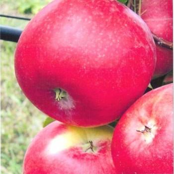 Саженцы яблони Амулет из Крыма