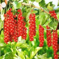 Саженцы красной смородины Роднеус из Крыма