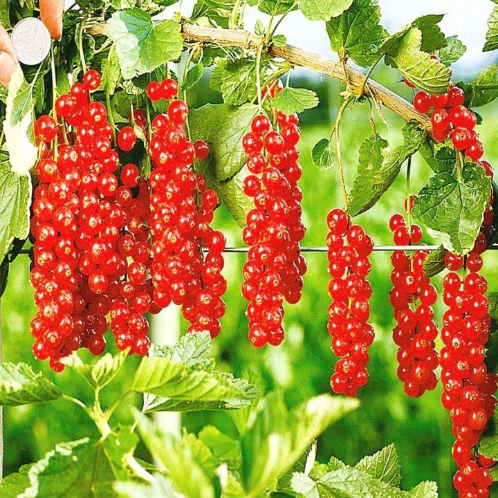 Роднеус сорт красной смородины