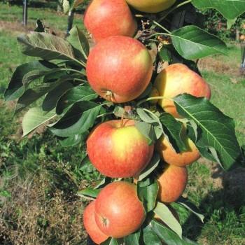 Саженцы колоновидной яблони Триумф из Крыма