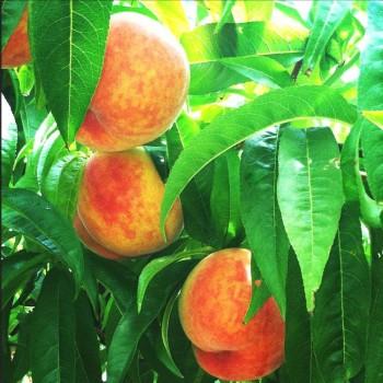 Саженцы персика Демерджи из Крыма