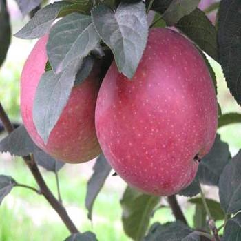 Саженцы яблони Роял Ред Делишес из Крыма
