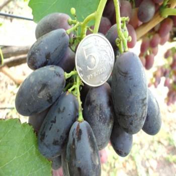 Саженцы винограда Велика из Крыма