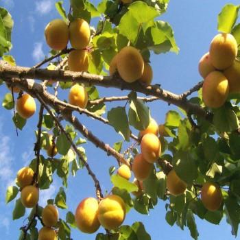 Саженцы абрикоса Дивный из Крыма