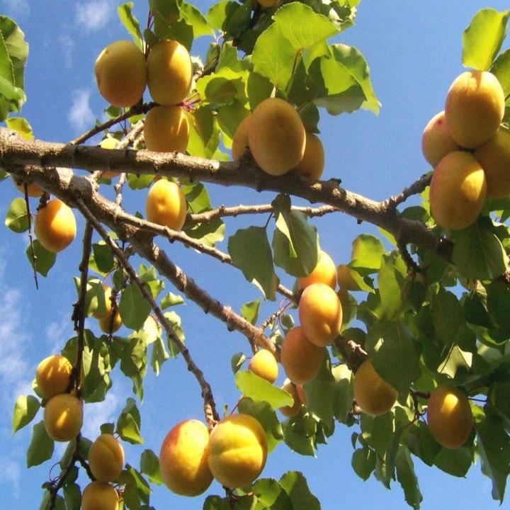 Дивный сорт абрикоса