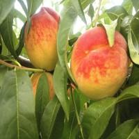 Саженцы персика Ник 102 из Крыма