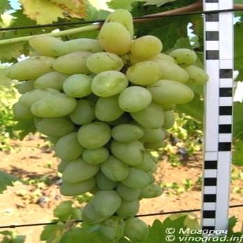 Саженцы винограда Кантемировский из Крыма