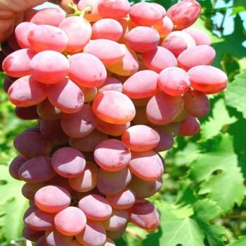 Саженцы винограда Аксайский из Крыма