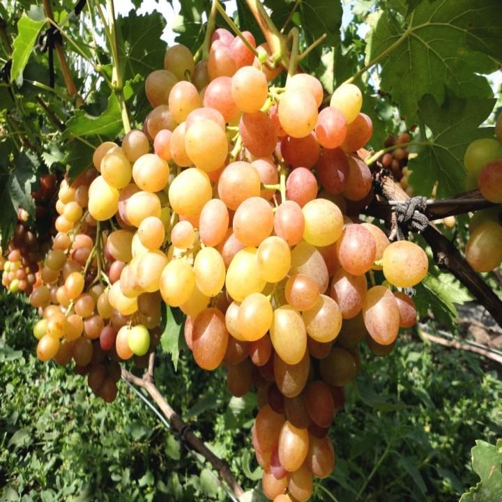 Хамелеон сорт винограда