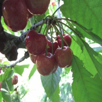 Саженцы черешни Темпорион из Крыма
