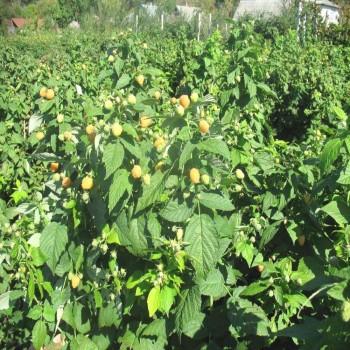 Саженцы малины Ярославна из Крыма