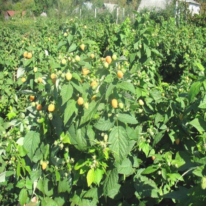 Ярославна сорт малины