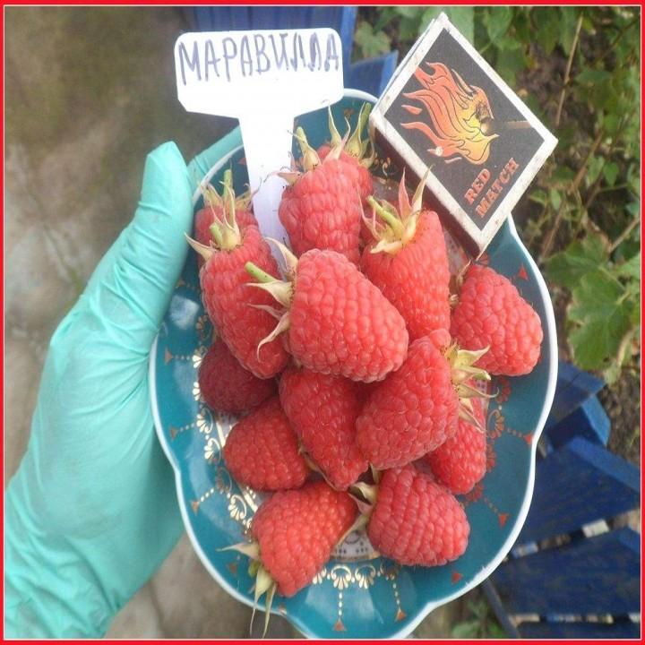 Маравилла сорт малины