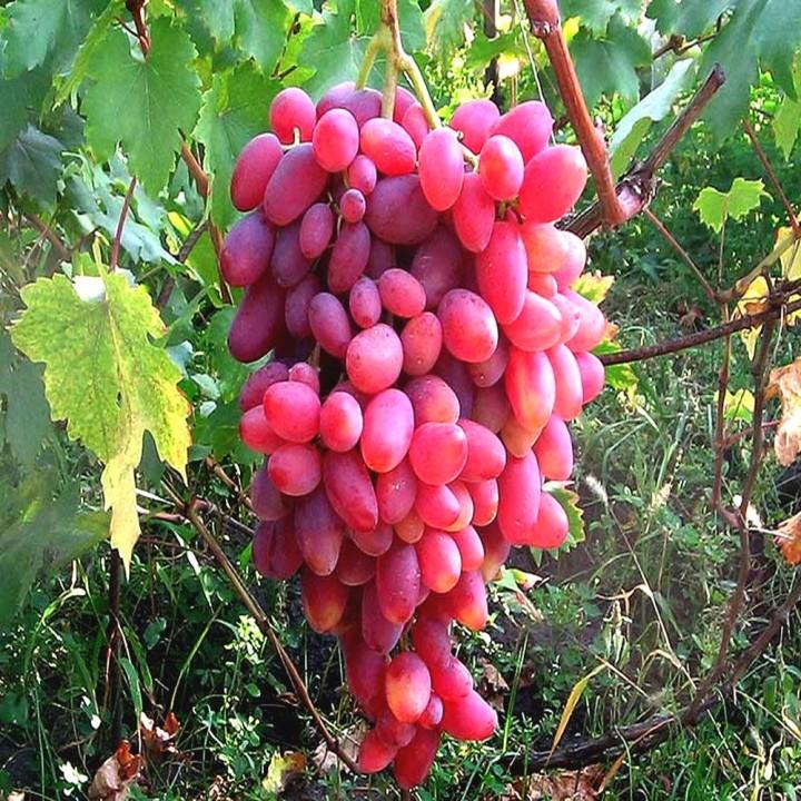 Юбилей Новочеркаска сорт винограда