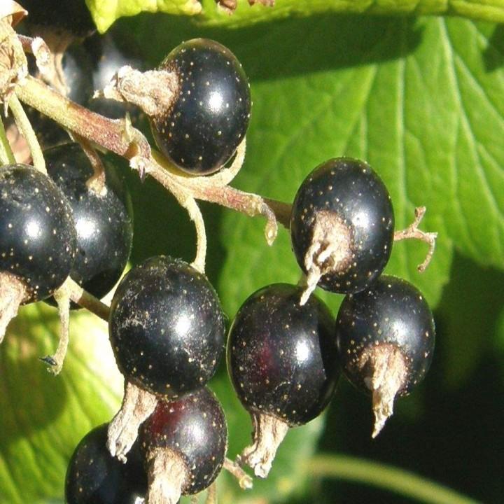 Чернеча сорт черной смородины