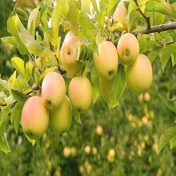Саженцы яблони Голден Делишес Смути из Крыма