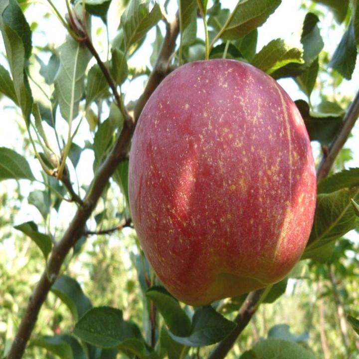 Рубинола сорт яблони