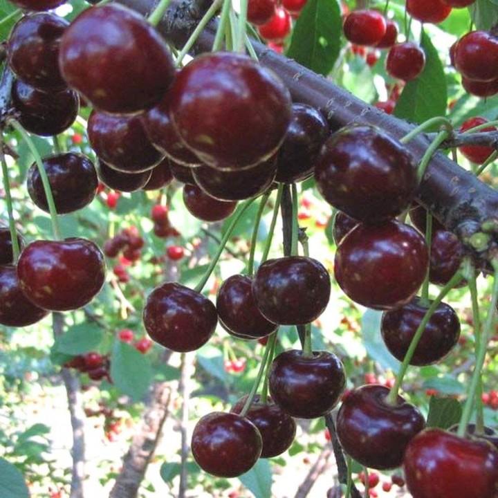 Ночка сорт вишни