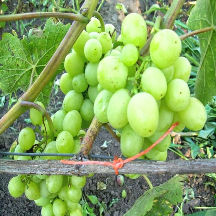 Памяти Захаровой  сорт винограда