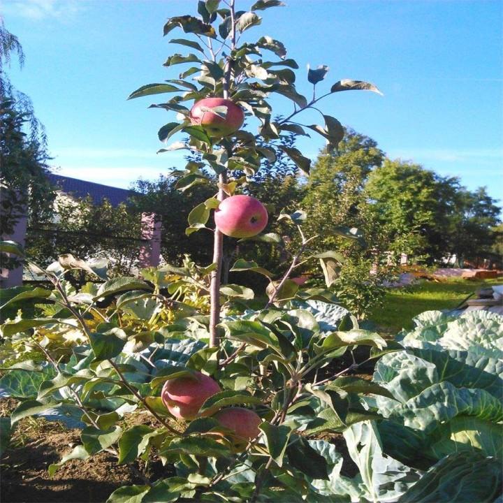 Уэлси сорт яблони