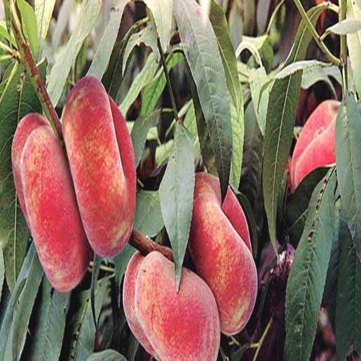 Уфо-3 сорт инжирного персика