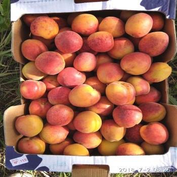 Саженцы абрикоса Леджуна из Крыма