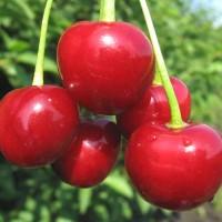 Саженцы вишни Нефрис из Крыма