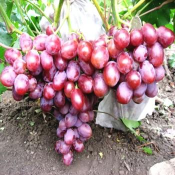 Саженцы винограда Низина из Крыма
