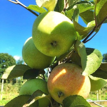 Саженцы яблони Сочи-2 из Крыма
